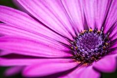 Blühen Sie das Purpur, das mit Details von Stempeln magentarot ist Stockfotos