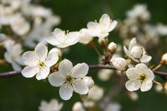Blühen Sie in der Blüte Lizenzfreie Stockfotografie