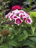 Blühen Sie die Gartennelke Türkischen, Dianthus barbatus, einige blühende türkische bunte Gartennelken auf dem unscharfen Hinterg lizenzfreies stockbild