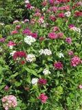 Blühen Sie die Gartennelke Türkischen, Dianthus barbatus, einige blühende türkische bunte Gartennelken auf dem unscharfen Hinterg lizenzfreies stockfoto