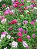 Blühen Sie die Gartennelke Türkischen, Dianthus barbatus, einige blühende türkische bunte Gartennelken auf dem unscharfen Hinterg lizenzfreie stockfotografie