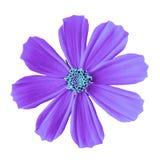 Blühen Sie die mexikanische Aster des violetten cyan-blauen Kosmos, lokalisiert auf einem weißen Hintergrund Nahaufnahme Lizenzfreie Stockfotos