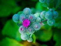 Blühen Sie Disteln auf einem grünen Hintergrund, einem Florafeld oder einer Wiese Stockbild