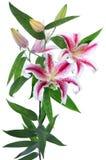 Blühen Sie eine Lilie. Stockfoto