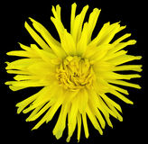 Blühen Sie Gelb auf einem schwarzen Hintergrund, der mit Beschneidungspfad lokalisiert wird nahaufnahme große rauhaarige Blume as Lizenzfreie Stockfotos