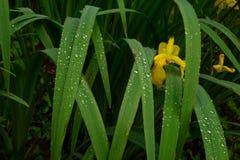 Blühen Sie gelbe Iris in den Wassertropfen auf den Blättern und den Blumen nach Regen Stockbilder