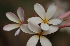 Blühen Sie Ghanera, das mit den offenen Blumenblättern am Abend blüht Stockfotografie