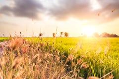 Blühen Sie Gras nahe dem Feld zwischen goldenen Stundenzeiten stockfotografie