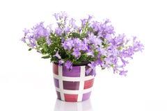 Blühen Sie im Blumenpotentiometer Stockfotografie