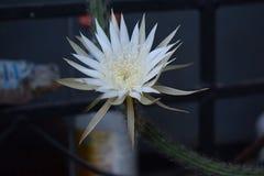 Blühen Sie Kaktus Stockfoto