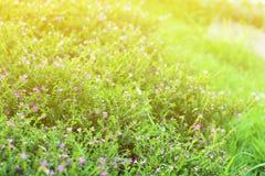 Blühen Sie kleine Weinlese, die reizendes Gras an Morgenzeitsonnenlicht für Hintergrundgesamtlänge sich entspannen Lizenzfreie Stockfotografie