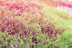Blühen Sie kleine Weinlese, die reizendes Gras an Morgenzeitsonnenlicht für Hintergrundgesamtlänge sich entspannen Lizenzfreies Stockfoto