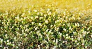 Blühen Sie kleine Weinlese, die reizendes Gras an Morgenzeitsonnenlicht für Hintergrundgesamtlänge sich entspannen Stockbilder