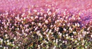 Blühen Sie kleine Weinlese, die reizendes Gras an Morgenzeitsonnenlicht für Hintergrundgesamtlänge sich entspannen Lizenzfreies Stockbild