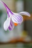 Blühen Sie Krokus der weißen Farbe mit purpurroten Linien Nahaufnahme Lizenzfreies Stockfoto