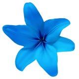 Blühen Sie Lilienblau auf einem weißen Hintergrund, der mit Beschneidungspfad lokalisiert wird Für Auslegung nahaufnahme Stockfoto