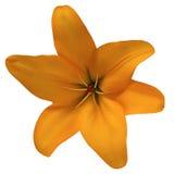 Blühen Sie Liliensommer auf einem weißen Hintergrund, der mit Beschneidungspfad lokalisiert wird Für Auslegung nahaufnahme Stockbild