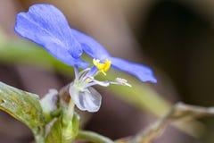 Blühen Sie Makrofoto des Commelina-erecta Extrem-Abschlusses oben - weniger blauer Blume stockfoto