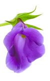 Blühen Sie Nahaufnahme, Gloxinia lizenzfreie stockfotografie