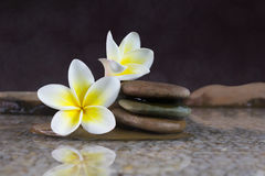 Blühen Sie Plumeria oder Frangipani auf Kiesel und Wasser Stockfoto