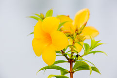 Blühen Sie, Rebe der goldenen Trompete, gelbe Glocke (Allamanda cathartica) Lizenzfreie Stockbilder