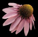 Blühen Sie rosa Kamille auf Schwarzes lokalisiertem Hintergrund mit Beschneidungspfad Gänseblümchen rosa-gelb für Design Nahaufna Stockbild