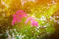 Blühen Sie rosa Kreppmyrte Lagerstroemia speciosa oder jarul Sonnenlicht Weinleseton mit Kopienraum addieren Sie Text vorwählen F Stockfoto