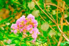 Blühen Sie rosa Kreppmyrte Lagerstroemia speciosa oder jarul Sonnenlicht Weinleseton mit Kopienraum addieren Sie Text vorwählen F Lizenzfreies Stockfoto