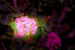 Blühen Sie rosa Kreppmyrte Lagerstroemia speciosa oder jarul Weinleseton mit Kopienraum addieren Sie Text vorwählen Fokus mit fla Lizenzfreie Stockbilder
