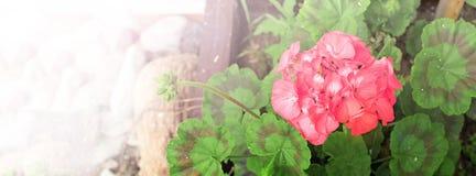 Blühen Sie Rosa mit grünen Blättern im Topf Lizenzfreie Stockbilder