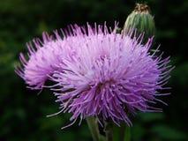 Blühen Sie, rote Blume, wunderbare Blume, wachsende Knospenblumen Lizenzfreie Stockfotografie