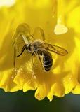 Blühen Sie Spinne mit einer Biene, die in den Narzissen eingeschlossen wird lizenzfreies stockbild