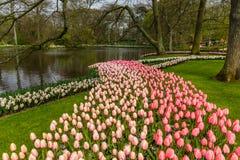 Blühen Sie Streifen von rosa Tulpen nahe Wasser im Park bei Keukenhof Stockfoto