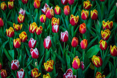 Blühen Sie Tulpen Lizenzfreie Stockfotos