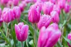Blühen Sie Tulpen Stockfoto