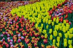 Blühen Sie Tulpen Lizenzfreie Stockfotografie