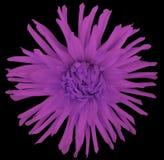 Blühen Sie Veilchen auf einem schwarzen Hintergrund, der mit Beschneidungspfad lokalisiert wird nahaufnahme große rauhaarige Blum Stockfotografie