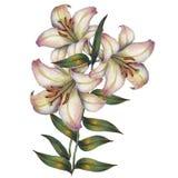Blühen Sie, weiße Lilie, Aquarell, Blumenstrauß Lizenzfreies Stockfoto