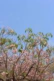 Blühen und Knospen von tabebuia Lizenzfreies Stockbild