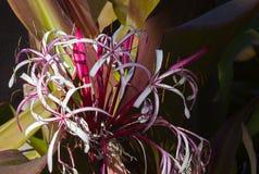 Blühen von Crinum-augustum Lilie auf tropischer St- Thomasinsel, die Jungferninseln US stockbild