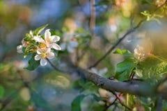 Blühen von Fruchtbüschen Lizenzfreie Stockfotografie