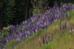 Blühen von Lupinen durch den Wald Lizenzfreie Stockfotos
