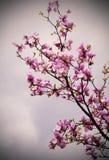 Blühen von Magnolienblumen Lizenzfreie Stockfotos
