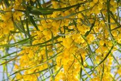Blühen von Mimosenbaum Akazie pycnantha, Abschluss des goldenen Zweigs oben im Frühjahr, helle gelbe Blumen, coojong Stockbilder