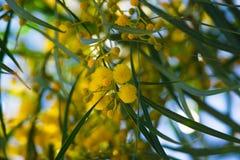 Blühen von Mimosenbaum Akazie pycnantha, Abschluss des goldenen Zweigs oben im Frühjahr, helle gelbe Blumen, coojong Stockfoto