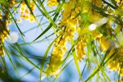 Blühen von Mimosenbaum Akazie pycnantha, Abschluss des goldenen Zweigs oben im Frühjahr, helle gelbe Blumen, coojong Stockfotografie