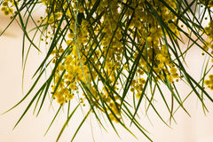 Blühen von Mimosenbaum Akazie pycnantha, Abschluss des goldenen Zweigs oben im Frühjahr, helle gelbe Blumen, coojong Stockfotos