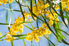 Blühen von Mimosenbaum Akazie pycnantha, Abschluss des goldenen Zweigs oben im Frühjahr, helle gelbe Blumen, coojong Lizenzfreie Stockbilder