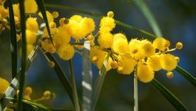 Blühen von Mimosenbaum Akazie pycnantha, Abschluss des goldenen Zweigs oben im Frühjahr, helle gelbe Blumen, coojong Lizenzfreie Stockfotografie
