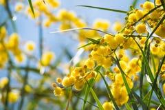 Blühen von Mimosenbaum Akazie pycnantha, Abschluss des goldenen Zweigs oben im Frühjahr, helle gelbe Blumen, coojong Lizenzfreies Stockbild